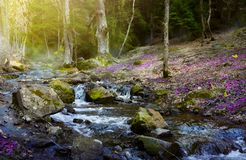 Blooming spring forest; Mountain stream and spring flowers royalty free stock image