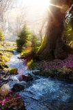 Blooming spring forest; Mountain stream and spring flowers Stock Photo