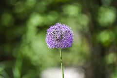 Blooming spring in the garden of onion flower. Blooming spring in the garden of onion flower Royalty Free Stock Photo