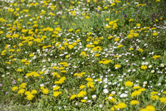 Blooming spring garden with yellow dandelions and white daisies Royalty Free Stock Image