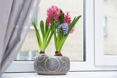 Blooming spring hyacinth flowers on windowsill at home royalty free stock photo