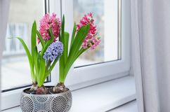 Blooming spring hyacinth flowers on windowsill at home. Space for text royalty free stock photos