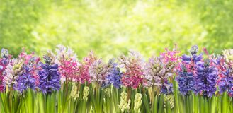 Blooming spring hyacinths flowers plant in garden. Blooming spring hyacinths flowers, background of garden and green foliage,border,banner