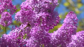 Blooming spring lilac stock video footage