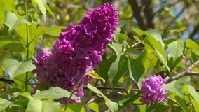 Blooming spring lilac stock video