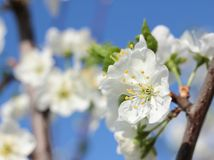 Blooming spring orchard in may. Blooming tree in spring garden on sky background Royalty Free Stock Photography