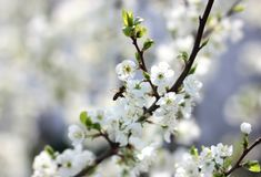 Blooming spring orchard in may. Spring garden surrounded by white flowers Royalty Free Stock Photos