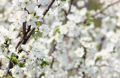Blooming spring orchard in may. Blooming tree in spring garden on sky background Stock Images