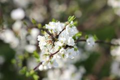 Blooming spring orchard in may. Blooming tree in spring garden on sky background Stock Photos