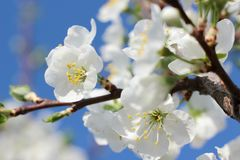 Blooming spring orchard in may. Blooming tree in spring garden on sky background Stock Image