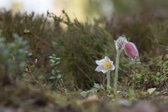 Blooming spring pasqueflower, Pulsatilla vernalis in natural environment Stock Image