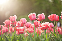 Blooming spring pink tulip flowers Stock Image