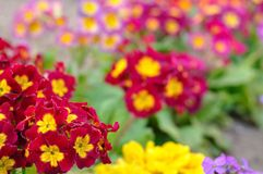 Blooming spring primulas in colorful flower bed Royalty Free Stock Photography