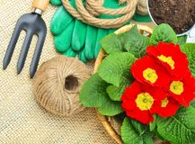 Blooming spring primulas in flower bed with rake. Stock Images