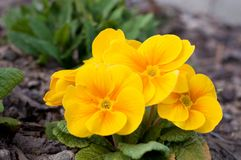 Blooming spring primulas in flower bed Royalty Free Stock Photos