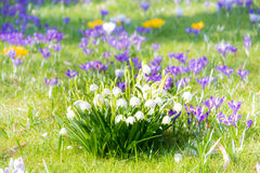 Blooming spring snwoflake flowers Stock Photos