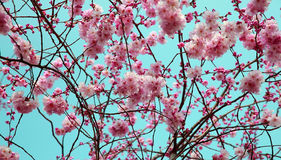 Blooming spring tree background Stock Photography