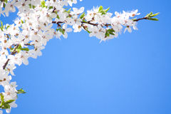 Blooming spring tree background Royalty Free Stock Images