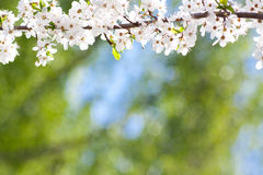 Blooming spring tree background Royalty Free Stock Image