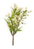 Blooming spring tree isolated on whit. E background royalty free stock photography