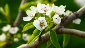 Blooming spring tree Stock Images