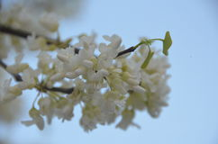 Blooming spring. The blooming of the tree white pink red blue sky Stock Image