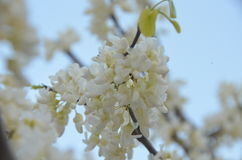 Blooming spring. The blooming of the tree white pink red blue sky Stock Photo