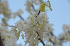 Blooming spring. The blooming of the tree white pink red blue sky Stock Photos