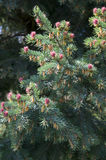 Blooming spruce. Nature. Spring blooming. Spruce blossom stock image