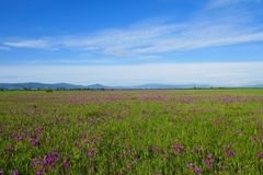 Blooming steppe in June. Blooming steppe in Khakassia in June, Siberia, Russia royalty free stock photo