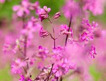 Blooming sticky catchflies (Silene viscaria) Stock Photo