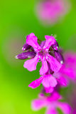 Blooming sticky catchflies Silene viscaria Royalty Free Stock Image