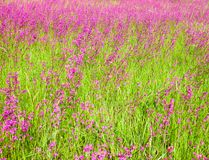 Blooming sticky catchflies (Silene viscaria) Royalty Free Stock Photo
