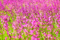 Blooming sticky catchflies (Silene viscaria) Stock Photography