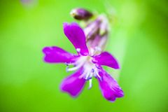 Blooming sticky catchfly (Silene viscaria) Stock Photography