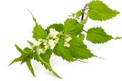 Blooming stinging nettle Royalty Free Stock Image