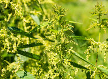 Blooming stinging nettles Stock Images