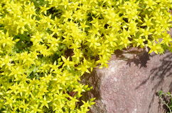 Blooming stonecrop plant with yellow flowers Royalty Free Stock Photos