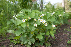 Blooming strawberries Stock Photos