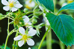 Blooming strawberries Royalty Free Stock Image