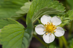 Blooming strawberries Royalty Free Stock Photography