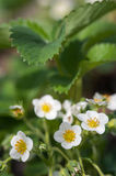 Blooming strawberries Royalty Free Stock Photos