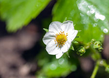 Blooming strawberries in the garden Stock Images