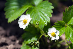 Blooming strawberries in the garden Stock Photos