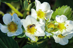 Blooming strawberries and insects. White flowers strawberry and insects, spring background Royalty Free Stock Photography