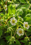 Blooming strawberries Royalty Free Stock Photo