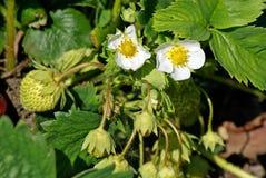 Blooming strawberries Stock Image