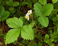 Blooming strawberries Stock Images