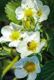 Blooming strawberry. On background of green leaves Royalty Free Stock Image