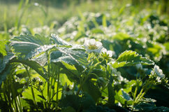 Blooming strawberry with dew drops. In the morning sun Stock Photography
